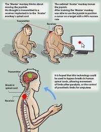 Мозговой имплантат позволил обезьяне контролировать движения сородичей