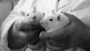 Из созданной в пробирке спермы вырастают здоровые мыши – зарождение надежды положить конец мужскому бесплодию.