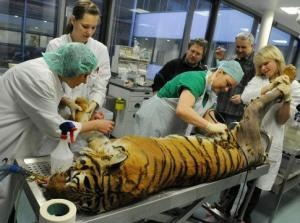 Гигиена труда при обслуживании здоровых и заразно больных животных
