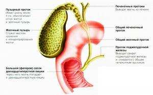 Функции желчи в пищеварении
