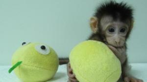 Первые клоны обезьян были созданы в китайской лаборатории