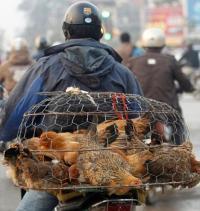 Птичий грипп H7N9 – коварен и смертелен